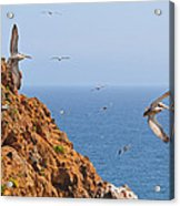 Pelicans Off The Point Acrylic Print