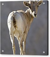 Peninsular Bighorn Sheep Ovis Acrylic Print