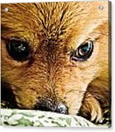 Pensive Pomeranian Acrylic Print