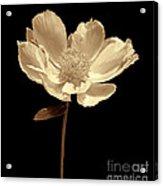 Peony Flower Portrait Sepia Acrylic Print