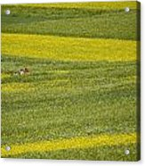 People In A Rapeseed Field Acrylic Print by David Evans