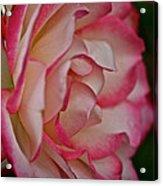 Peppermint Rose Acrylic Print