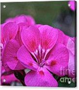 Pepto Pink Acrylic Print