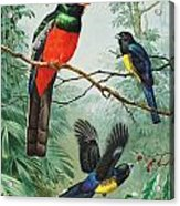 Perched And Flying Trogons Are Seen Acrylic Print