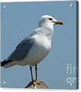 Perched Seagull Acrylic Print