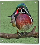 Perched Wood Duck Acrylic Print
