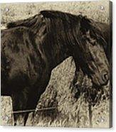 Percheron Prairie Horses Acrylic Print
