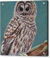 Perching Spotted Owl Acrylic Print by Thomas Maynard
