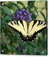 Perfectly Aligned Butterfly On Butterfly Bush Acrylic Print