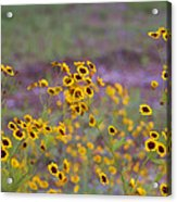 Perky Golden Coreopsis Wildflowers Acrylic Print