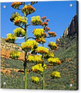Perry's Agave Acrylic Print