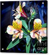 Peruvian Lily In My Garden Acrylic Print