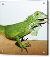 Pet Iguana Acrylic Print