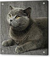 Pet Portrait Of British Shorthair Cat Acrylic Print by Nancy Branston