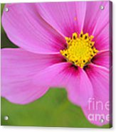 Petaline - P01a Acrylic Print by Variance Collections