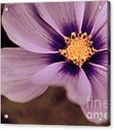 Petaline - P04d Acrylic Print