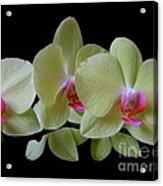 Phalaenopsis Fuller's Sunset Orchid No 1 Acrylic Print