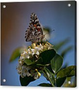 Phaon Crescent Butterfly Acrylic Print