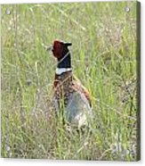 Pheasant In The Grass Acrylic Print