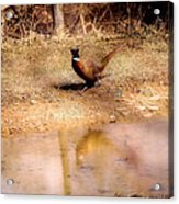 Pheasant Stroll Acrylic Print