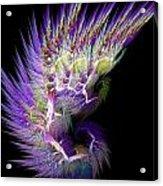 Phoenix's Wing Acrylic Print