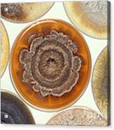 Phomopsis Mold Cultures Acrylic Print