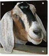 Photogenic Goat Acrylic Print