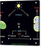 Photosynthesis, Artwork Acrylic Print by Francis Leroy, Biocosmos