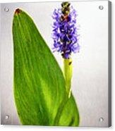 Pickerel Blue Pontederia Cordata Acrylic Print