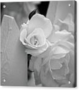 Picket Rose Acrylic Print
