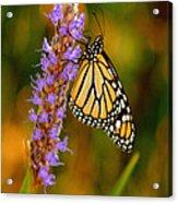 Picky Monarch Acrylic Print