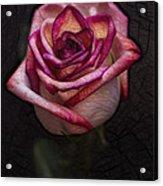 Picturesque Satin Rose Acrylic Print