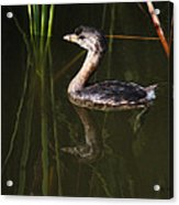 Pied-billed Grebe In The Reeds Acrylic Print