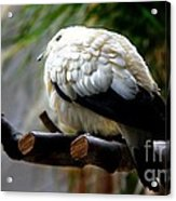 Pied Imperial Pigeon Acrylic Print