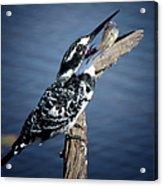 Pied Kingfisher Eating Acrylic Print