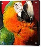 Pietro The Parrot Acrylic Print
