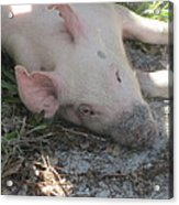 Pig In A Pen 4 Acrylic Print by Cathy Lindsey