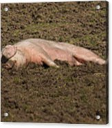 Pig In Mud Acrylic Print