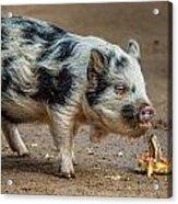 Pig With An Attitude Acrylic Print