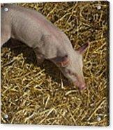 Pig. Yummy Roasted Acrylic Print by Michael Clarke JP