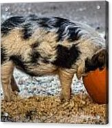 Pigging Out Acrylic Print