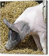 Piggy Piggy In The Straw Acrylic Print