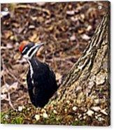 Pileated Woodpecker 3 Acrylic Print