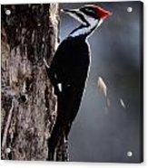 Pileated Woodpecker Dryocopus Pileatus Acrylic Print