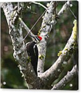 Pileated Woodpecker In Cherry Tree Acrylic Print