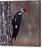 Pileated Woodpecker Young Acrylic Print