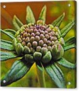 Pinchshin Bud Acrylic Print