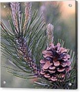 Pine Cone At Sundown Acrylic Print