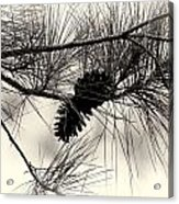 Pine Cones In The Treetops Acrylic Print