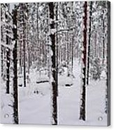Pine Forest In January Acrylic Print